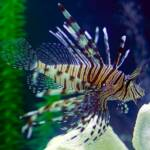 Impact Lionfish Have on Coral Reefs at www.LionfishHunters.org